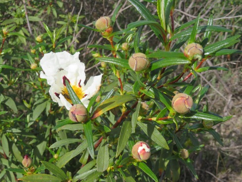 The gum cistus, bursting out all over the hillsides.