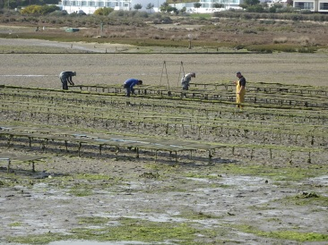 Oyster beds being worked
