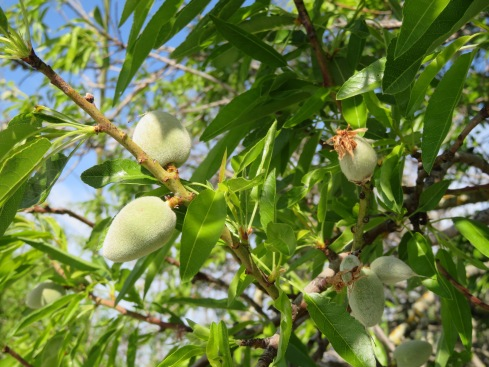 The new almonds are rapidly growing and the trees, quickly filling out with both fruit and leaf.
