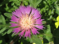 These lovely thistles, I think this one is a centourea pulata, are popping up all over the place. They are used in making cheeses, as a thickening agent.