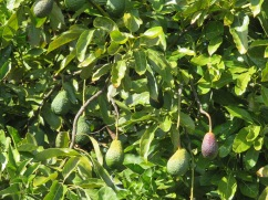 Walked pass the avocado orchard near here...they are all just out of my reach.....for the moment!!
