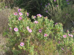 No breeze today so the cistus were simply sitting on the hillside. No wild dancing.