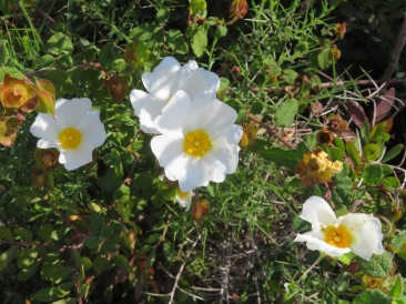 And the smaller white cistus is quickly spreading up the hillside. It seems to enjoy the shade a bit more than the larger gum cistus.