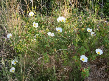 Another patch of cistus.