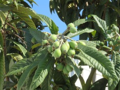 The loquats (nespera) are starting to grow quickly. Compote coming soon!!