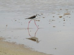 The black-winged stilt, scurried away from me as fast as it could