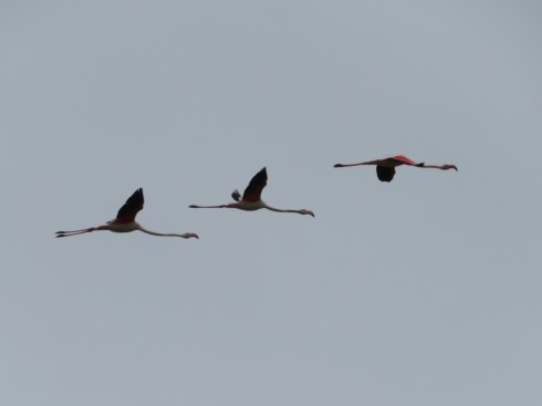 A small flock of flamingos took flight