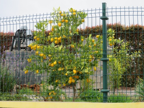 I thought this was a kumquat tree but when I got close it seemed to be a tiny lemon tree with rather uniform sized, and shaped lemons. I'm still not totally certain.