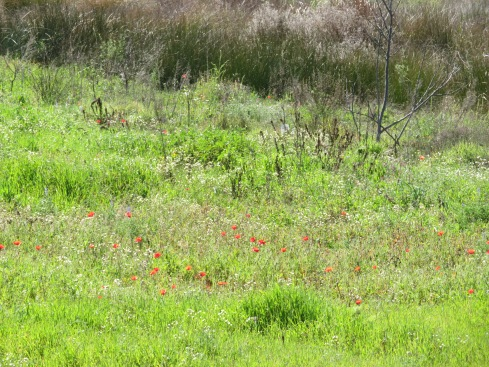 As we got out of the car, one of the first things we saw, a field of dancing wild poppies.