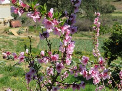 Fruit trees blossoming and looking lovely.
