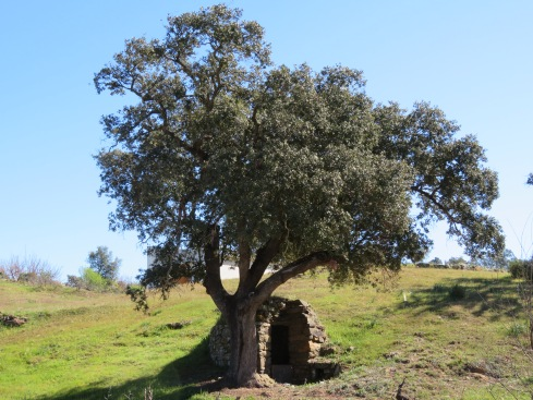 This elegant old olive tree and what looked like the entrance to a root cellar.