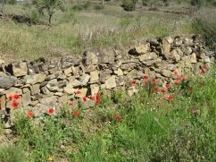 This enormous bed of poppies was protected by this old stone wall and I think that, and the intense heat of the last few days, has helped them grow.