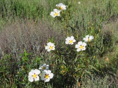 Gum cistus were cascading and dancing up and down every mountain side in every conceivable direction.