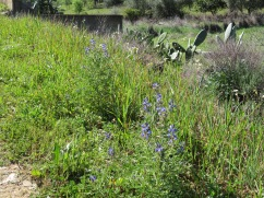 Beautiful blue narrow-leaved lupins