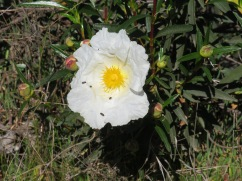 A wild peony.....my first, and only so far this year.