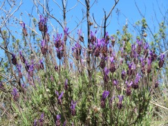 Lavender is everywhere right now.......heavenly scented breeze wherever they are