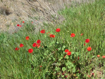 More poppies, called common poppies.
