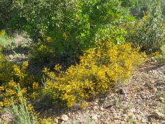 Broom was growing in great abundance all throughout the mountain.