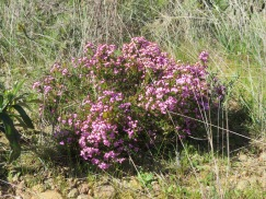 Heather, both white and pink grew all throughout this area.