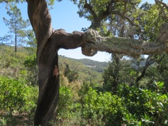 Loved this old cork tree and the tiny village off in the distance.