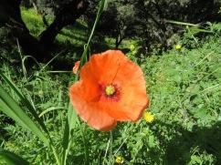 This deep orange poppy was quite beautiful.