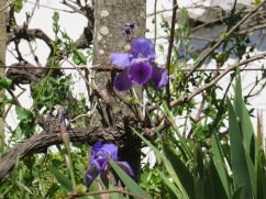I noticed a cluster of irises on the embankment near this upcoming house.