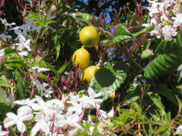 The nesperas (loquats) are ripening in the jasmine vine.