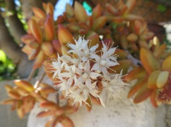 Many of the succulents in the tiny garden beside the restaurant, were in bloom. This cluster was about the size of a tea cup.