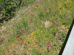 Enormous clusters of wiled gladioli all over the mountainsides.