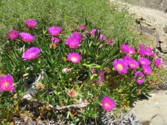 This is called a Hottentot Fig