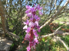 Toothed orchid