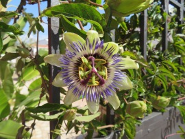 My first passion flower of the season. Soon they will be all over the place but I never feel blasé about them.