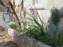 A flower bed near a building being renovated. It contained wild gladioli, the first time I have ever seen them growing outside a mountainside environment.