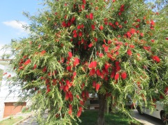 A magnificent bottle-brush tree in bloom.