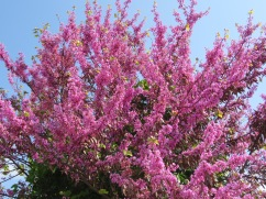 Now that is a redbud!