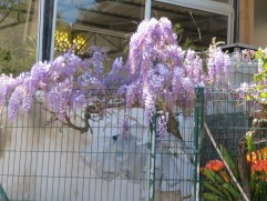 Passed a roadside building that had this lovely vine of wisteria in bloom.