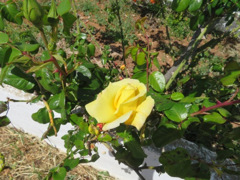 The roses, which normally come in April, are just starting to open.