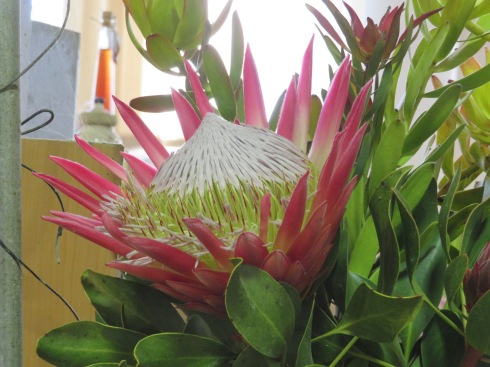 This heavenly looking bloom is bigger than my head!!