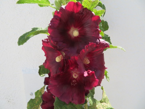 This gorgeous hollyhock was near the side of the road and demanded to be photographed.