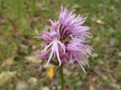"""I do love this """"naked man orchid"""" and would love to know who named it."""