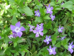 The colour of these violets is challenging to capture accurately on camera.