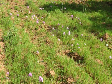 The hillside was smattered with countless orchids.