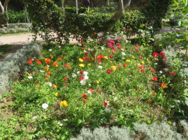 Patricia was in glee with this full bed of multicoloured poppies.