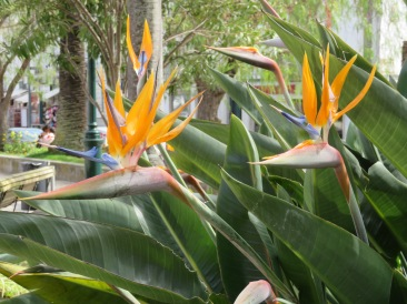 The bird of paradise is in bloom everywhere right now.