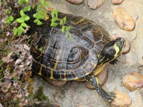 The turtles enjoying the sunshine.