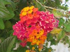 Lantana.....comes in so many colours.