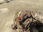 This ladybug seemed to be quite at home on this old piece of wood/rock.
