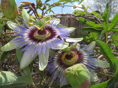 A wall of passion flowers, many in full bloom, some about to pop and many just forming. I never tire of seeing them.