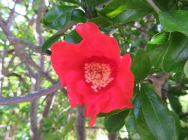 This is the pomegranate bud when it opens into a flower which then turns into the fruit. They are exceptionally beautiful and unusual.