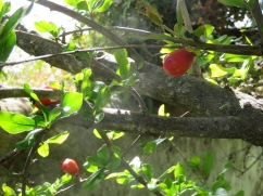 These are pomegranate buds forming on the trees. Which are currently showing up in abundance.
